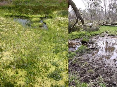 Healthy alpine mossbed versus horse impacts