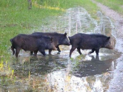 This is a photo of feral pigs moving through the landscape at Tarma Lagoon.