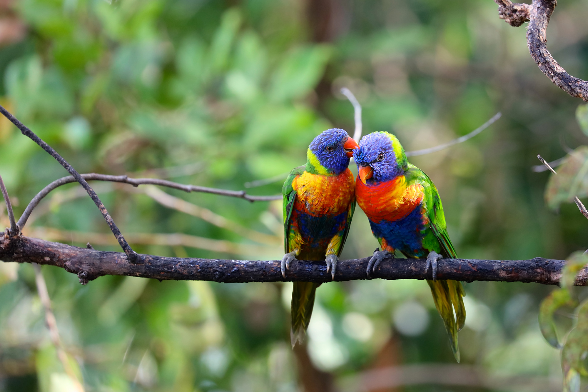 One Rainbow Lorikeet grooming another on a tree branch