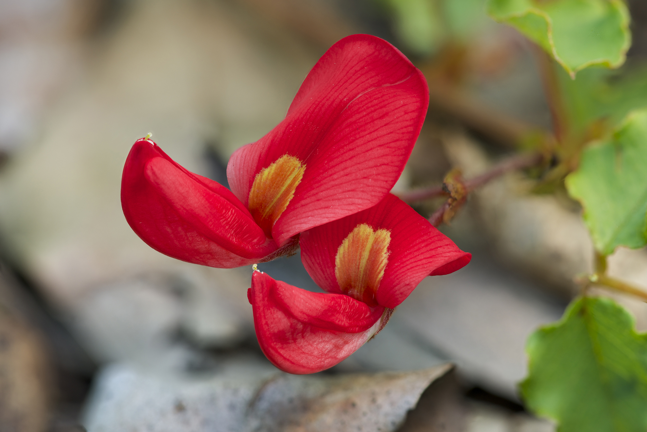 A bright red flower with yellow in the centre.