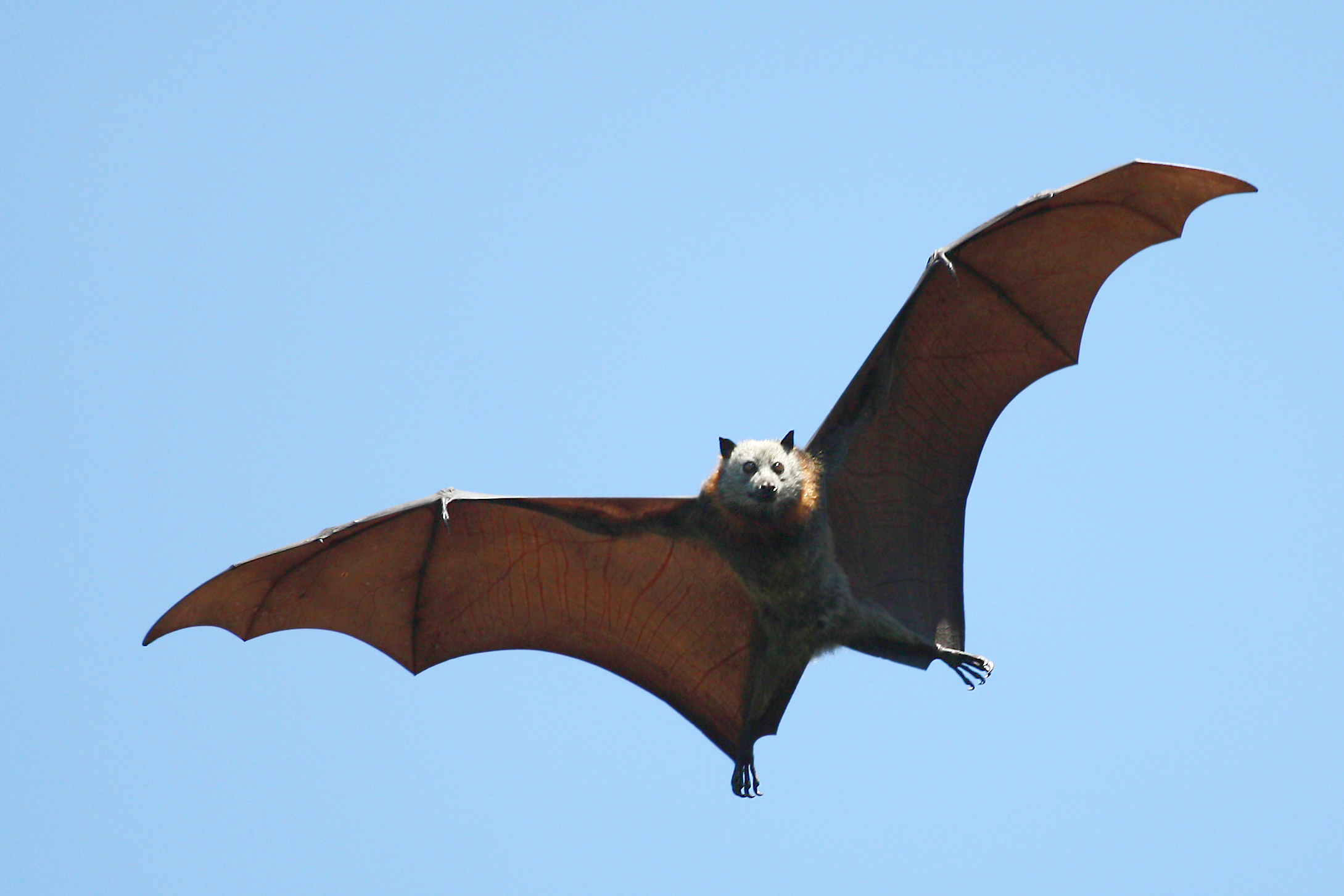 A bat flying with wings fully spread against a blue sky