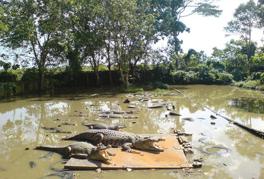 Crocodile Captivity Juwata