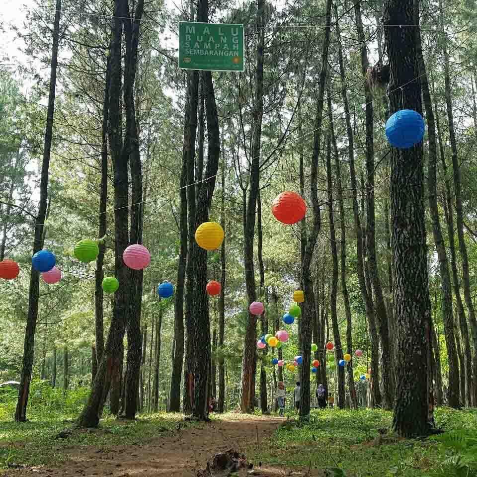 Hutan Pinus Songgon ( Pine Forest Tree Songgon )