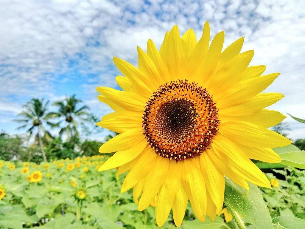 Dewari Sunflower Park