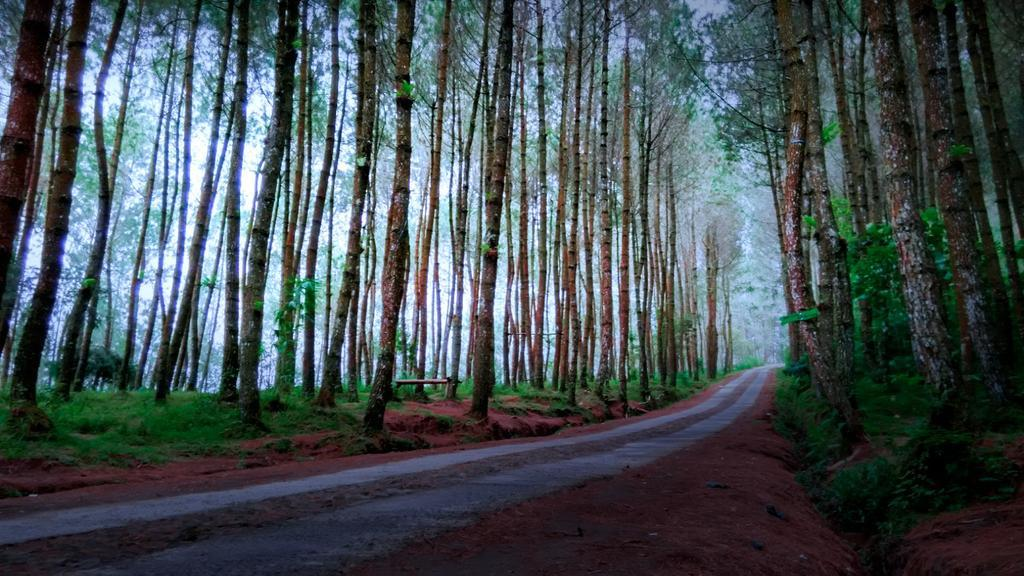 The Kragilan Pine Forest