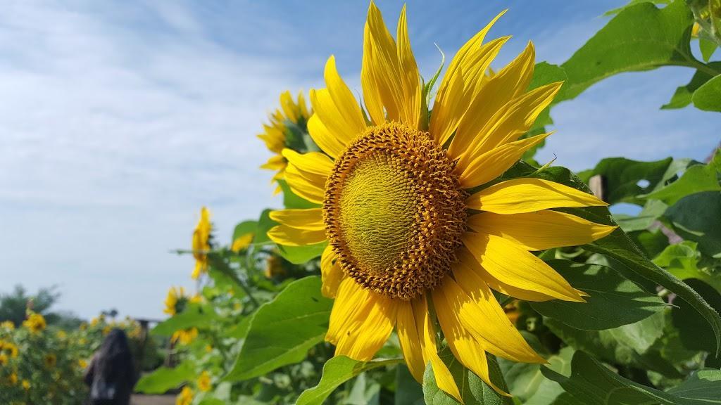Ladang Bunga Matahari