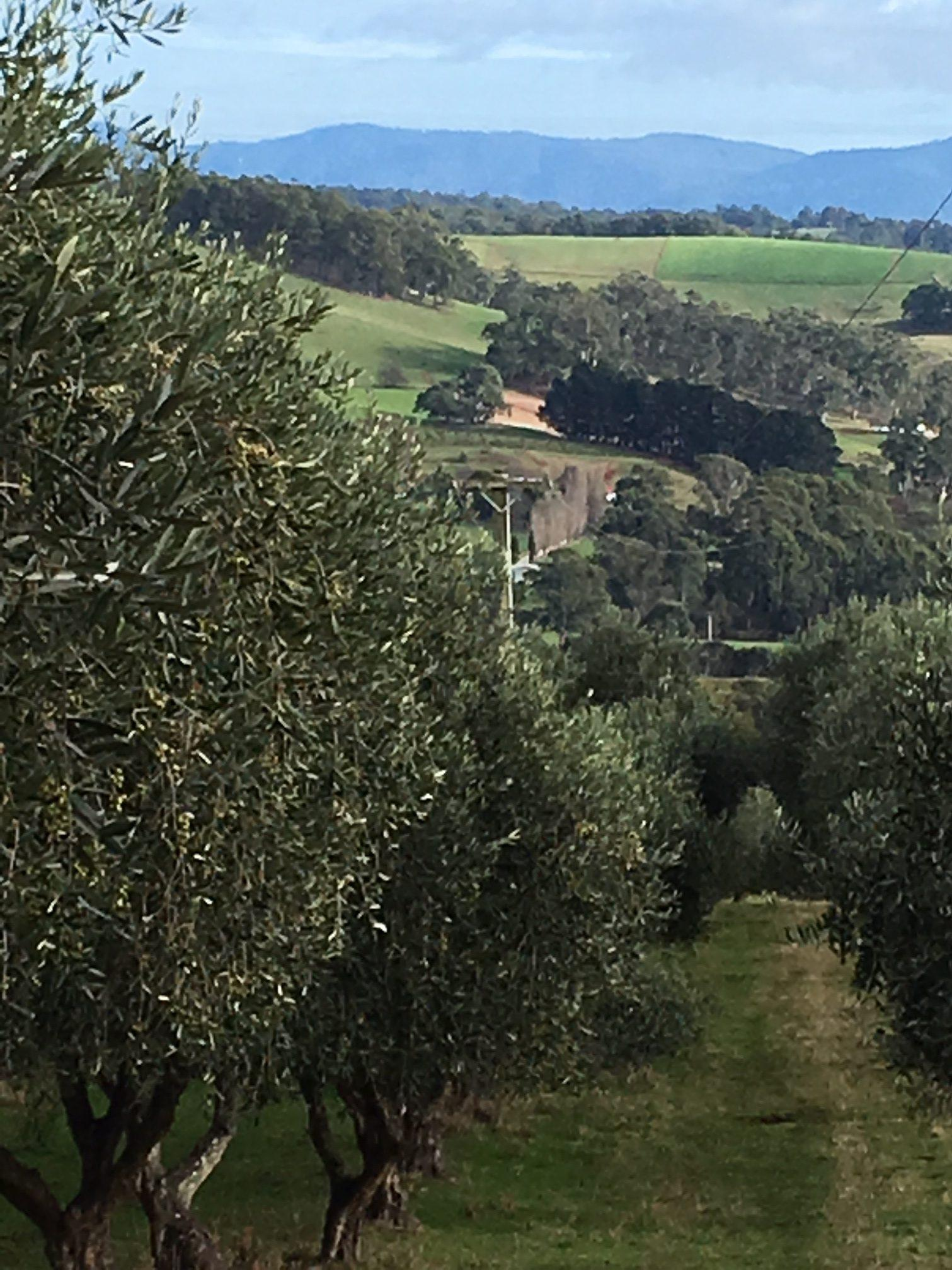 Olive grove at Forth