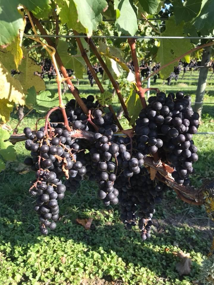 Askerne Estate Vineyard
