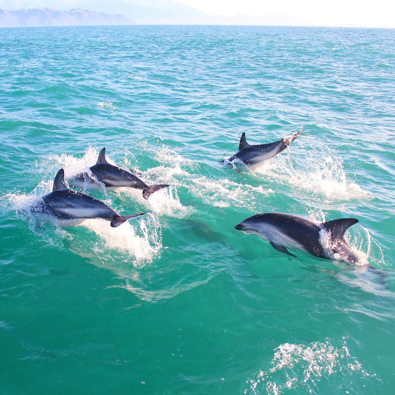 Dolphin Encounter Kaikoura