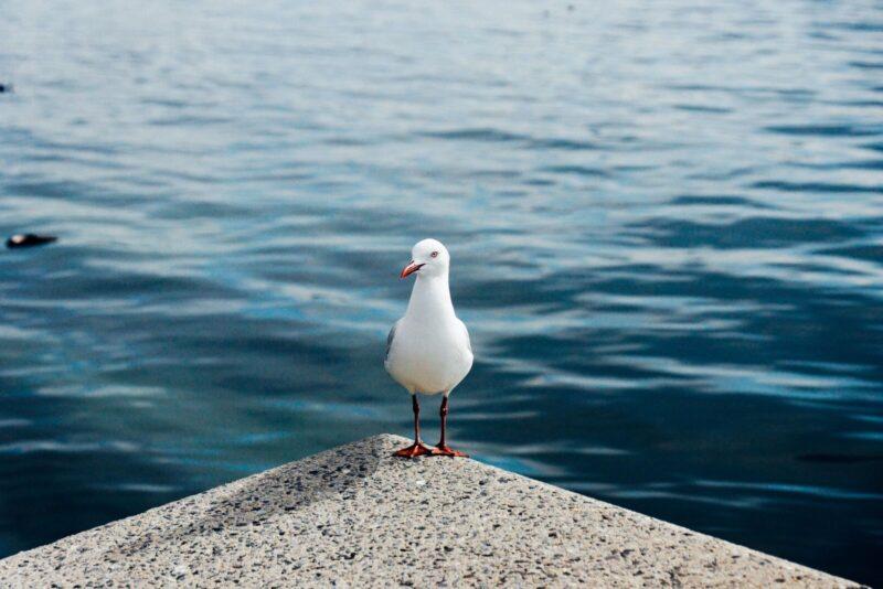 OZ   Melbourne Seagull