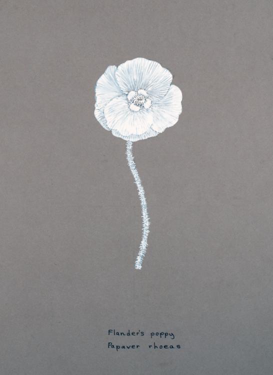 Artist's sketch of the Flanders Poppy (Papaver rhoeas)
