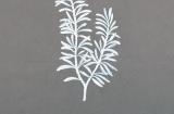 Artist's sketch of Rosemary (Rosmarinus officinalis)