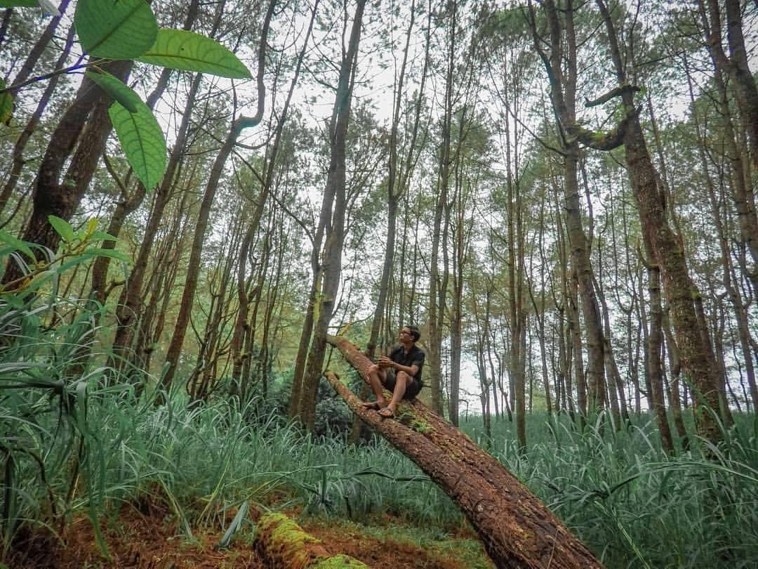 Kintamani Pine Forest