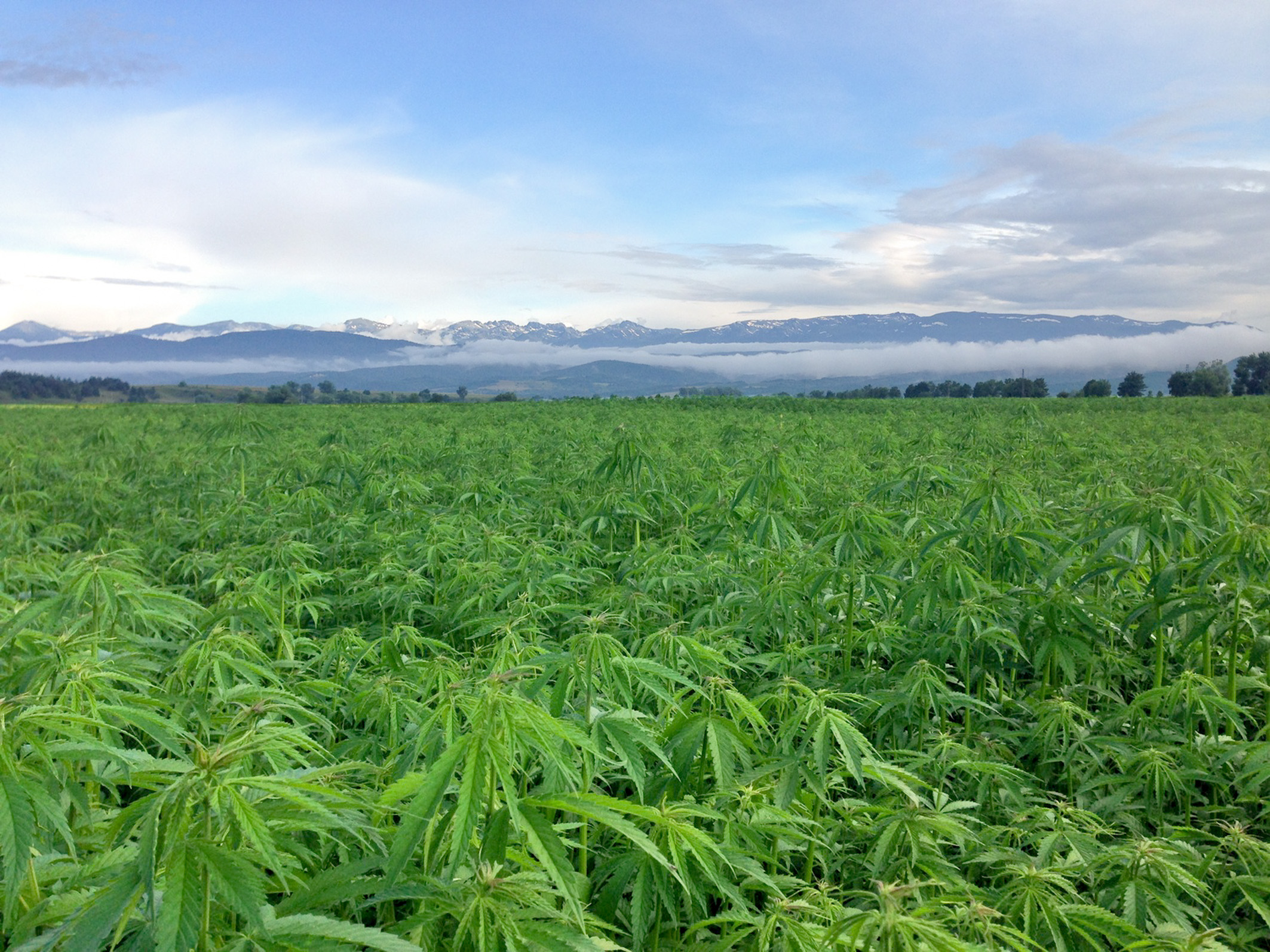 A field of hemp, which is about to become legal to sell as food.
